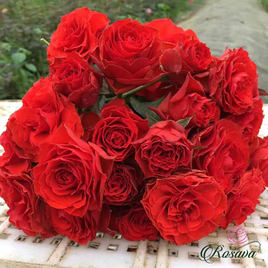 Hoa hồng Pháp Samarcanda rose