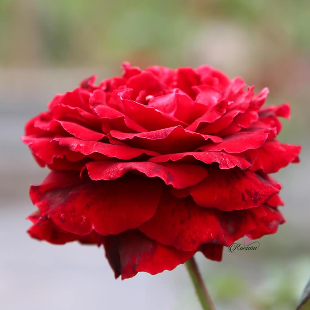 Hoa hồng cổ Hải Phòng - Giống hồng đỏ to nhất Việt Nam