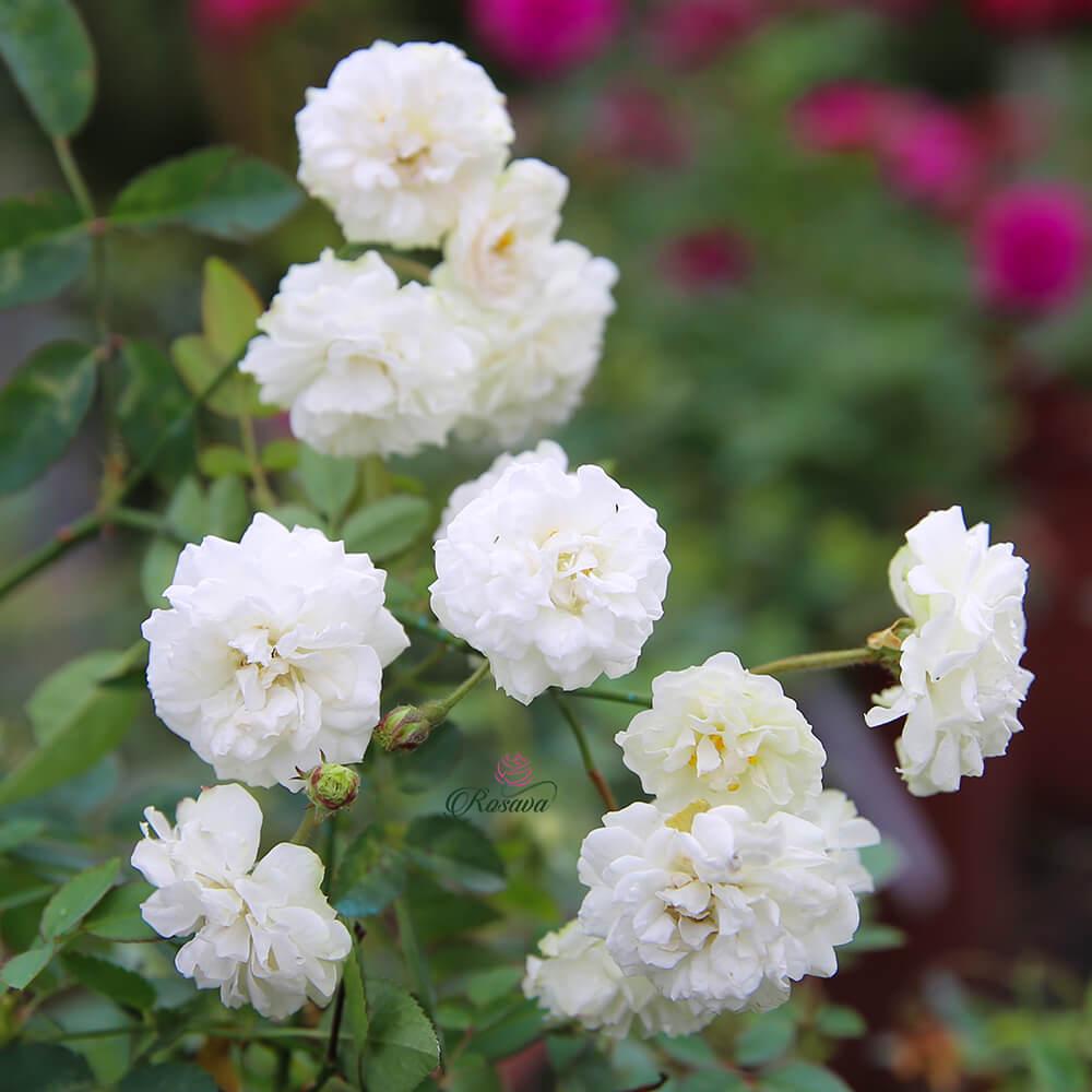 Hoa hồng Bạch Trà – hồng bông nhỏ siêu thơm và siêu chùm