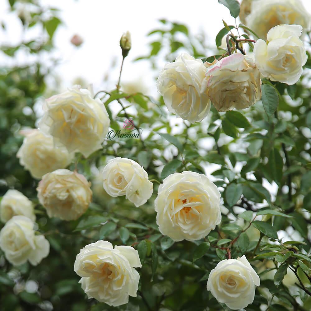 Hoa hồng Bạch Xếp – hồng cổ màu trắng đẹp nhất