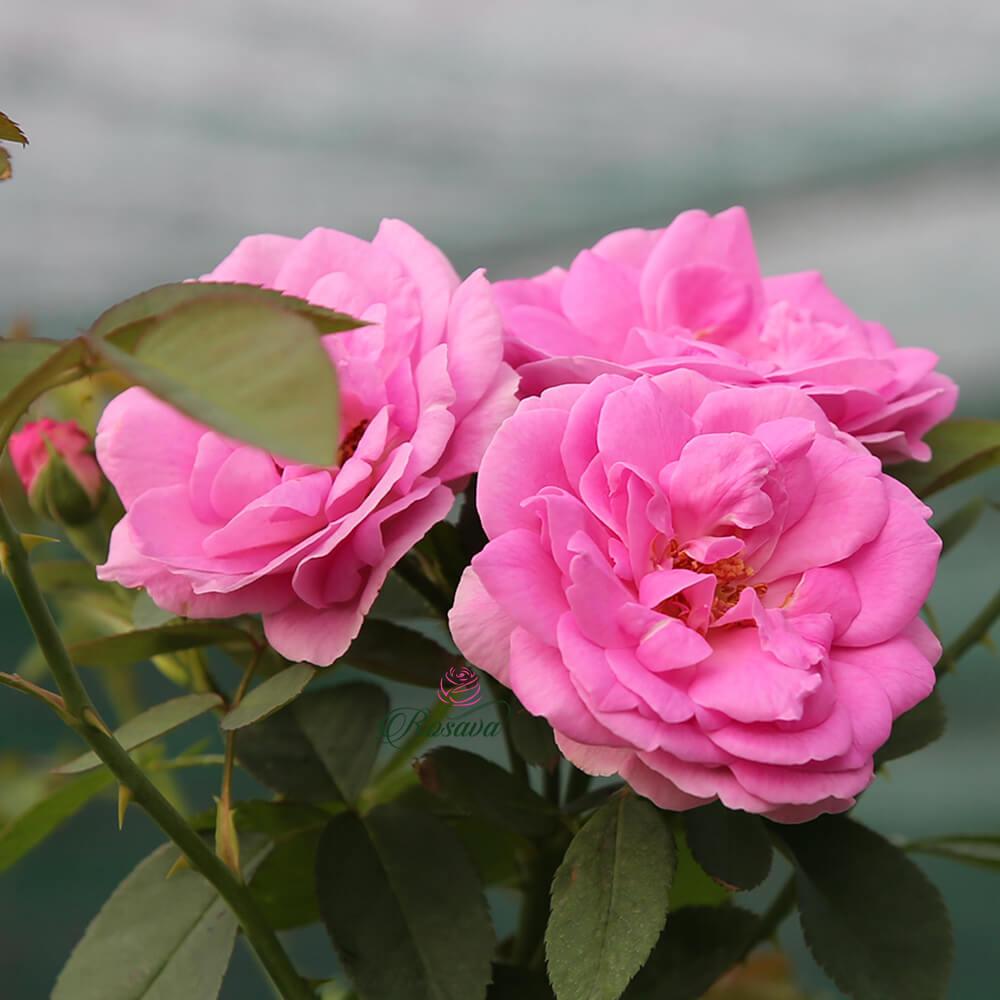 Hoa hồng cổ Son Môi – giống hồng thơm nhất hành tinh