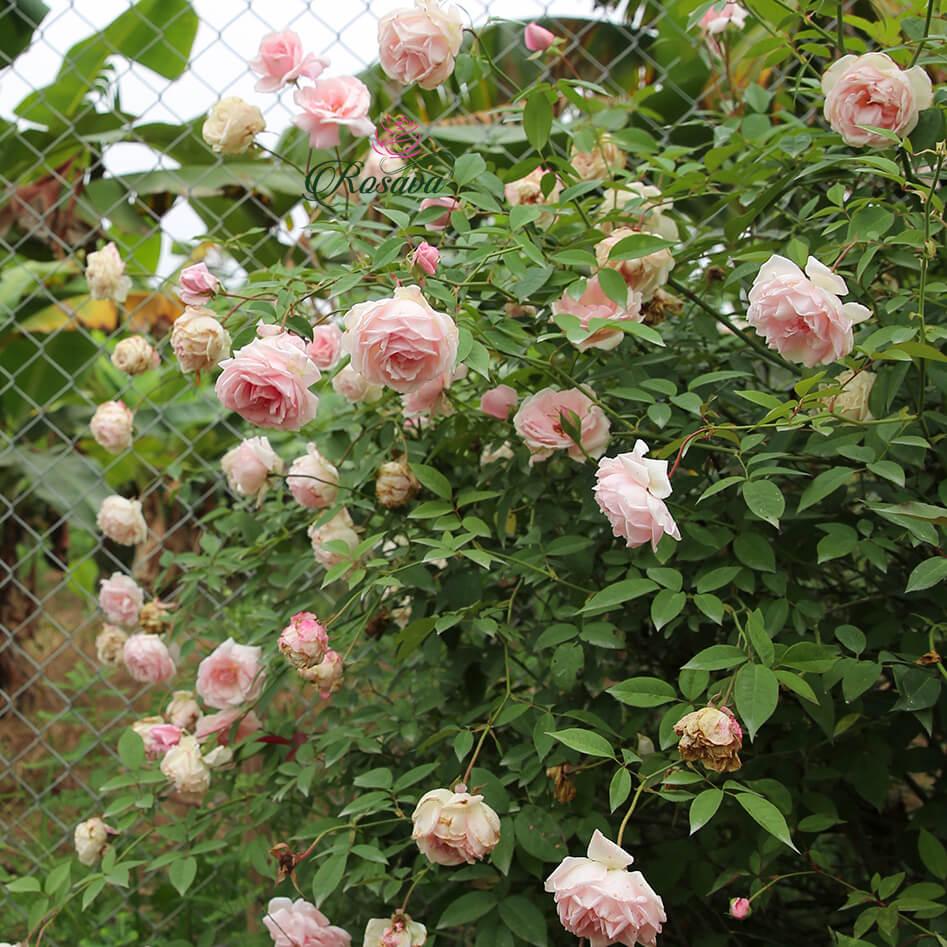 Hoa hồng Đào cổ - Giống cây cực sai hoa, đẹp và dễ trồng cho người mới chơi