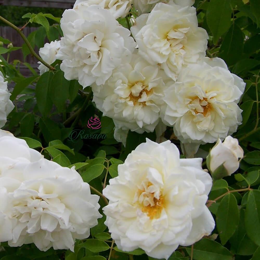 Hoa hồng leo Trắng Đà Lạt – siêu khỏe, ít sâu bệnh