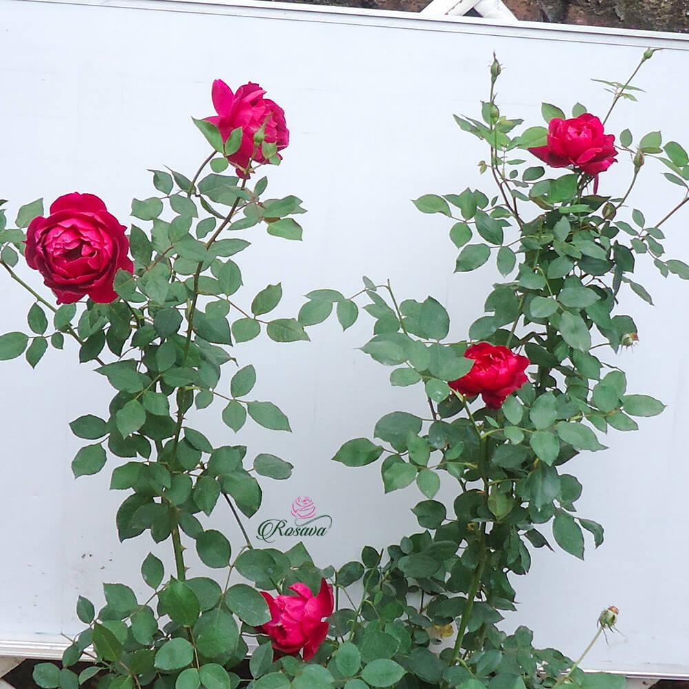 Hoa hồng Nhung cổ – giống đỏ cực thơm của Việt Nam