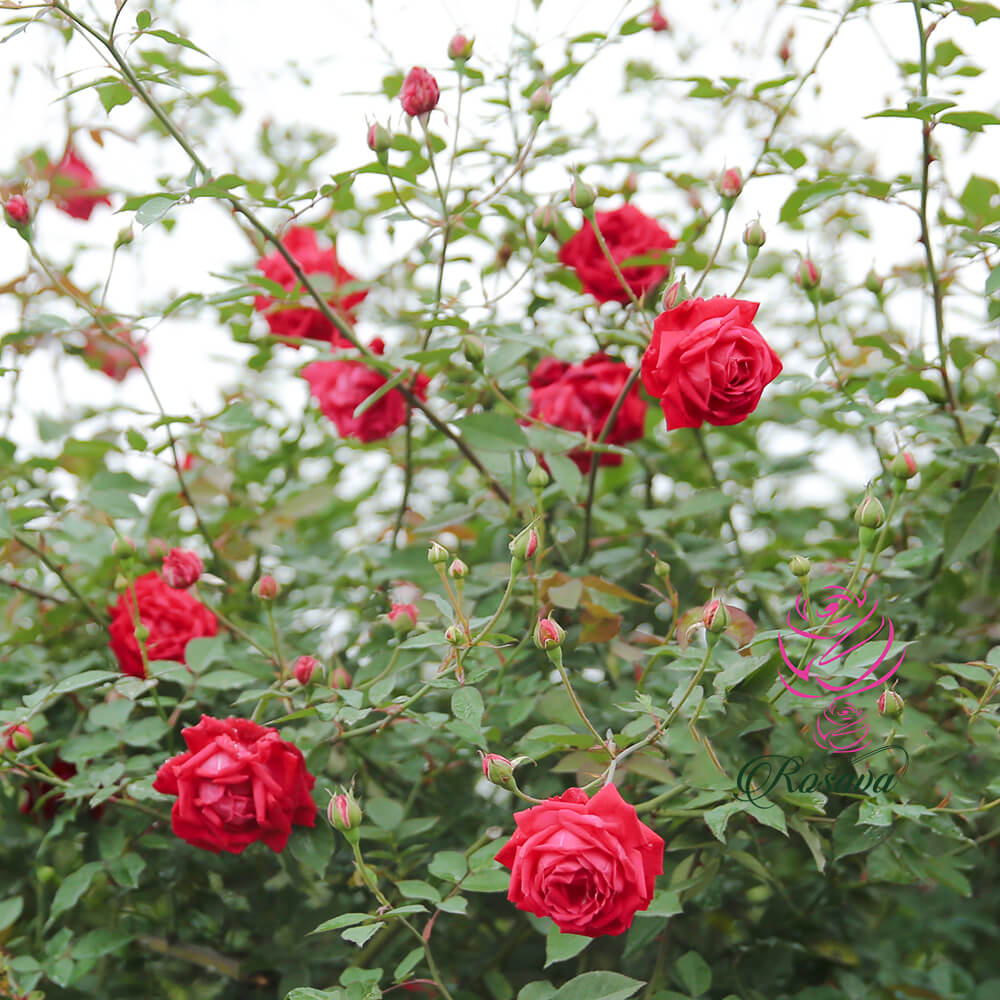 Hoa hồng Quế Son cổ – màu đẹp và khoẻ vô đối