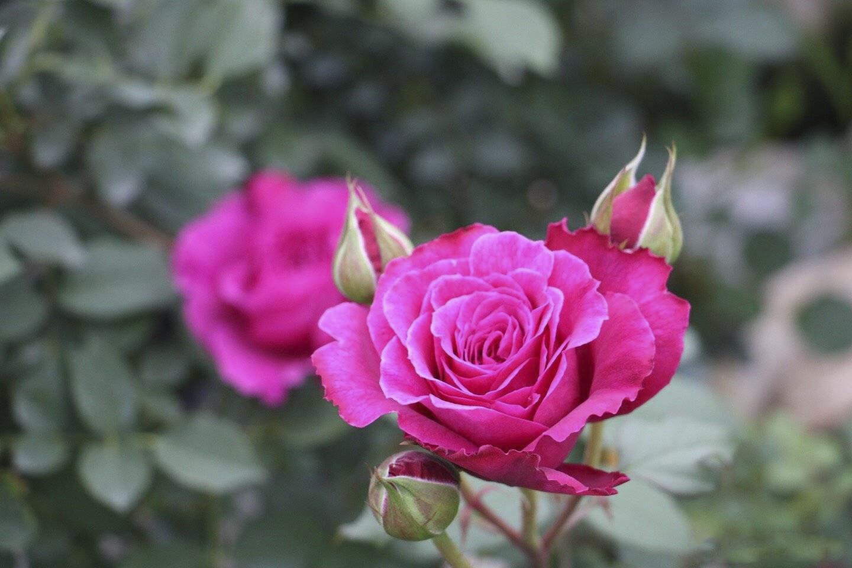Hoa hồng ngoại Ramukan rose