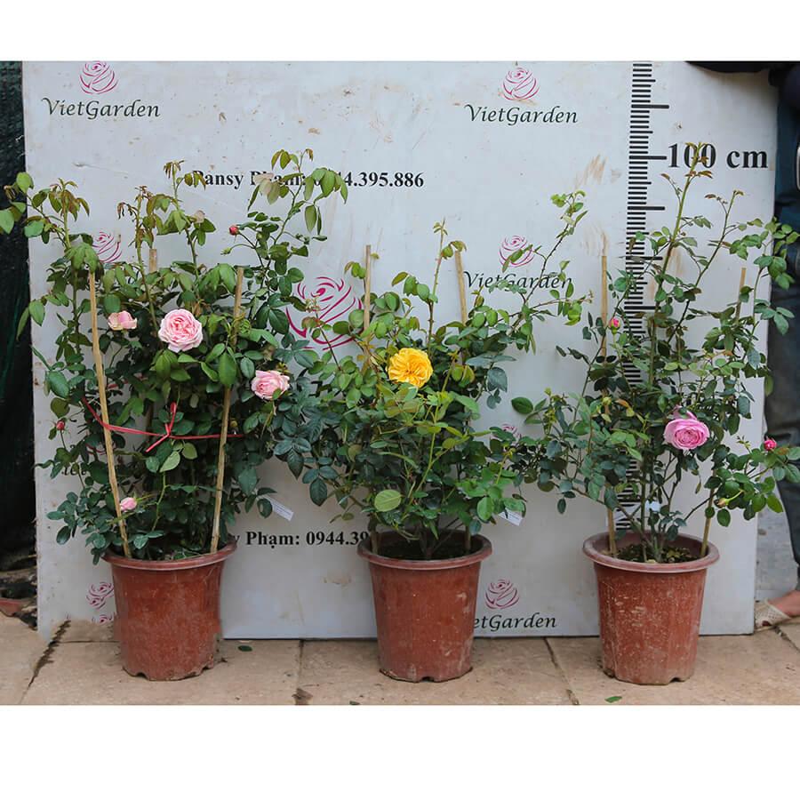Hoa hồng leo Pháp Honore De Balzac rose