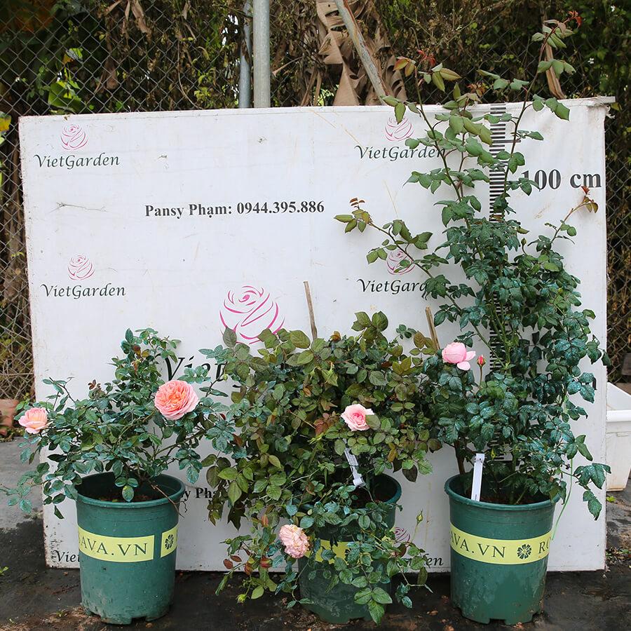 Hoa hồng leo Pháp Nahema rose