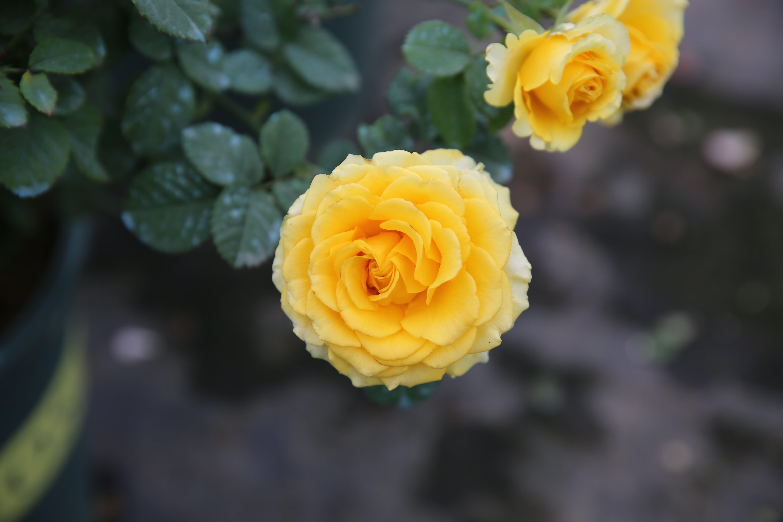 Hoa hồng ngoại Shell vàng