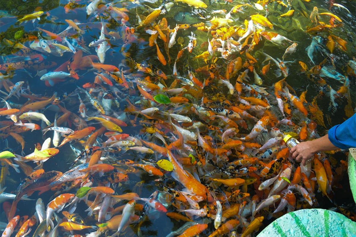 cá bú bình tại yangbay