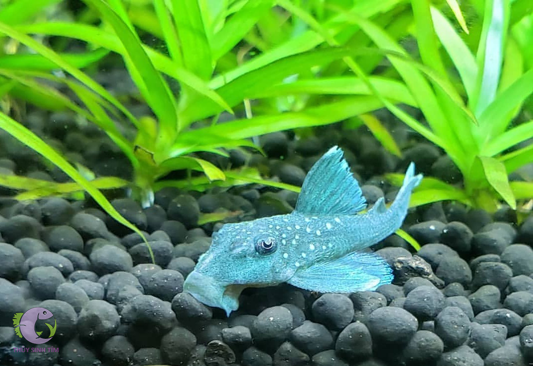 l128 blue phantom pleco - 2