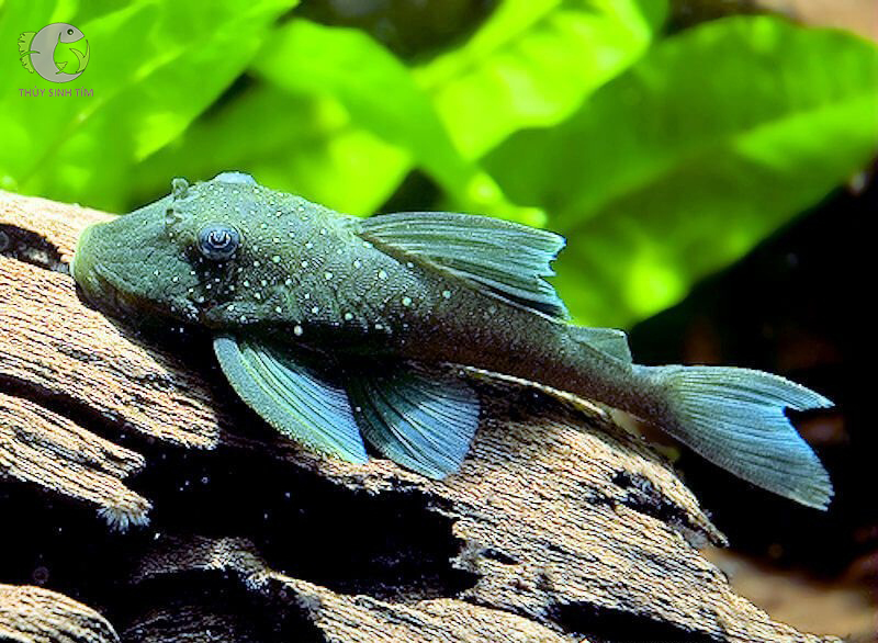 L128 blue phantom pleco - 1