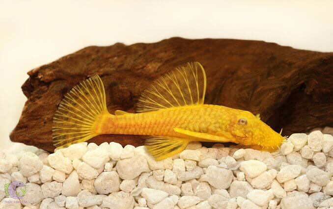 l144 blue eye lemon bristlenose pleco - 1