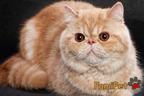 cách nuôi mèo Ba tư