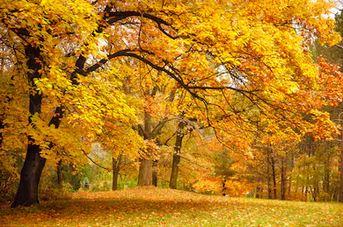 Tranh phong cảnh mùa thu 99