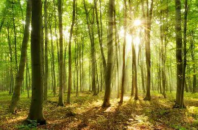 Tranh rừng cây 40