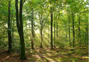 Tranh rừng cây 50