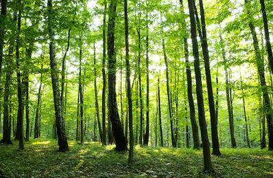 Tranh rừng cây 52
