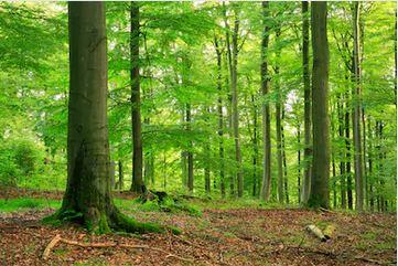 Tranh rừng cây 59