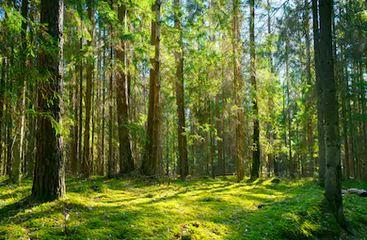 Tranh rừng cây 65