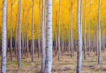 Tranh rừng cây 72