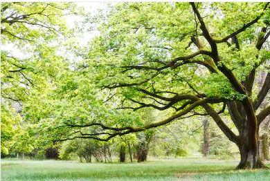 Tranh rừng cây 75