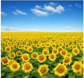 Tranh vườn hoa - TVH51