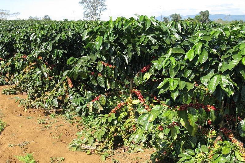 Hướng dẫn kỹ thuật trồng cây cà phê xanh lùn năng suất cao
