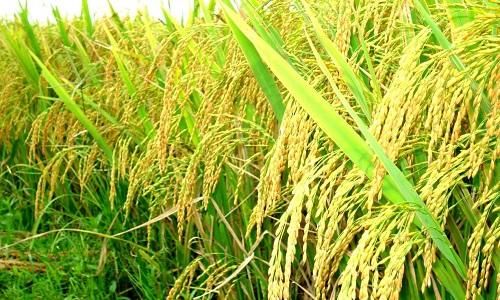 Kỹ thuật bón phân vụ Đông Xuân cho lúa đạt năng suất vượt trội