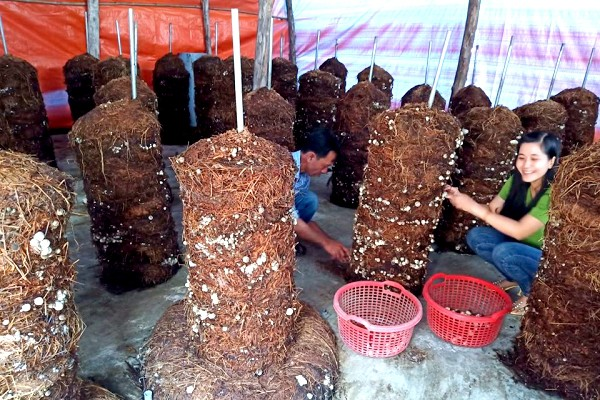 Mô hình trồng nấm rơm dạng trụ hiệu quả kinh tế cao