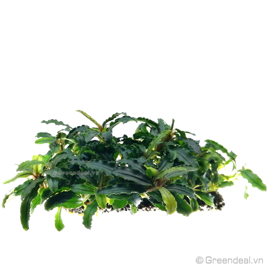 Bucephalandra .sp Thủy Mộc lá dài (Giá thể Napad)