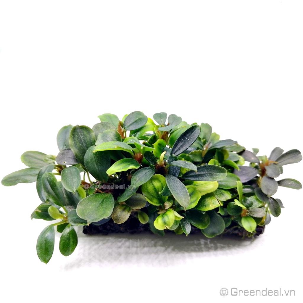 Bucephalandra .sp Thủy Mộc lá nhỏ (Giá thể Napad)