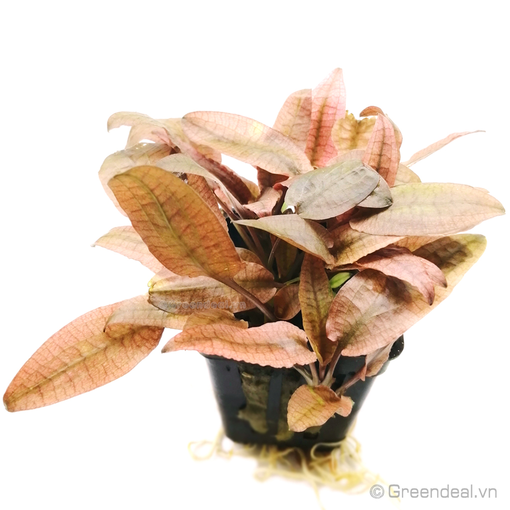 Cryptocoryne sp.