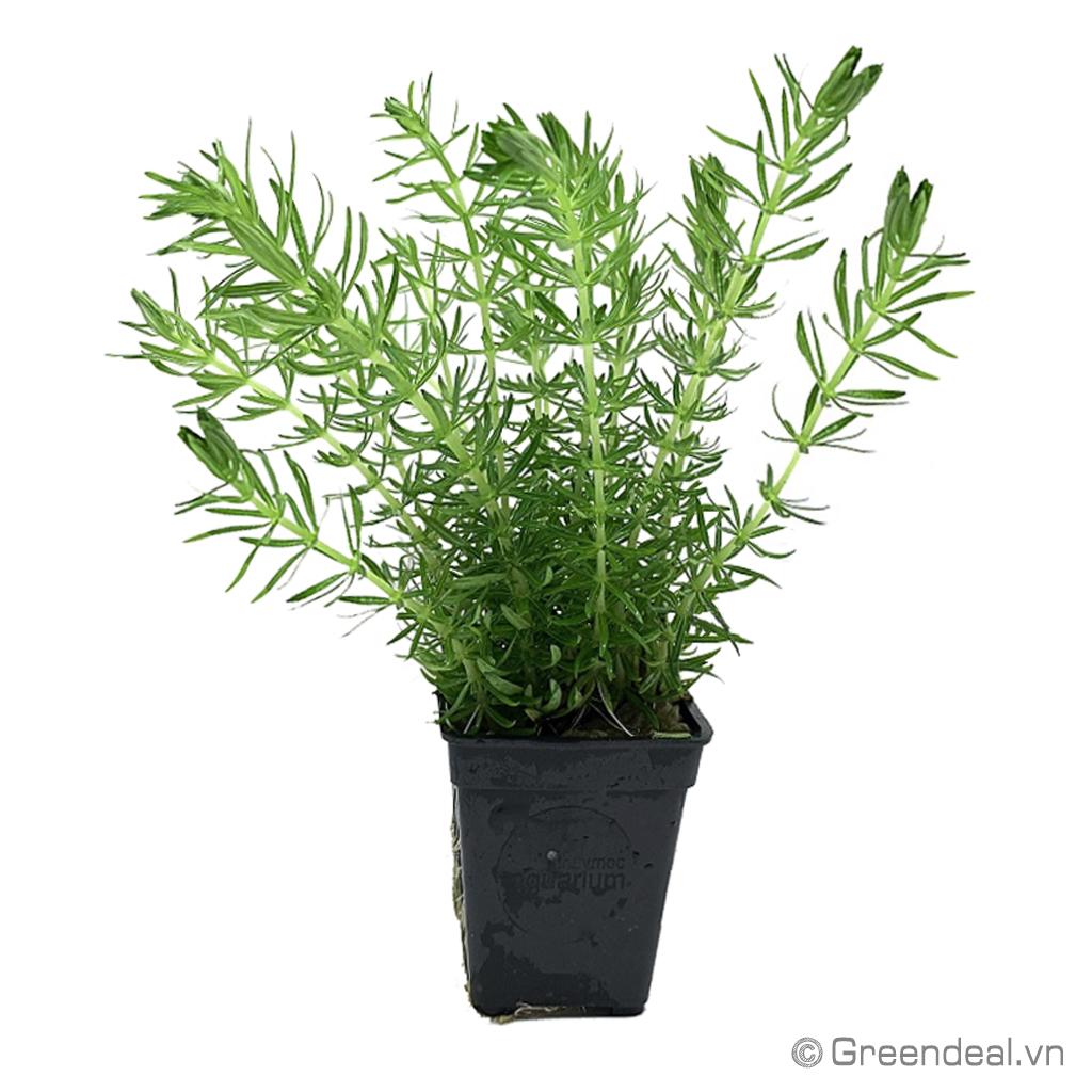 Hydrotriche Hottoniiflora (TM)