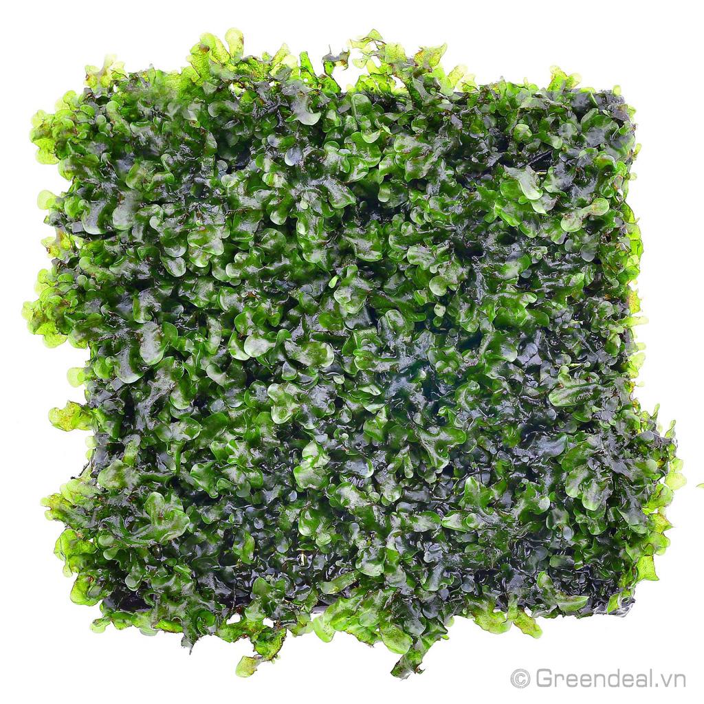 Pelia Moss - Monosolenium Tenerum