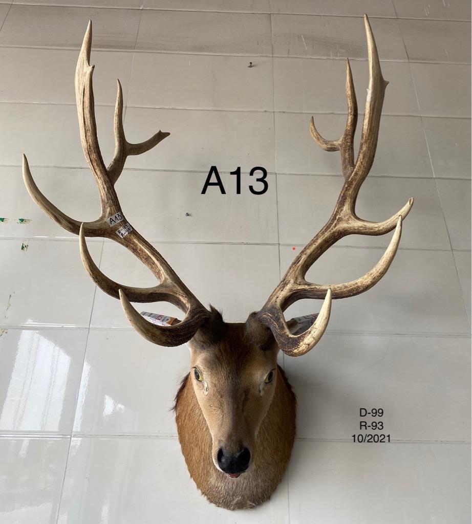 Nai đầu lông (A13)