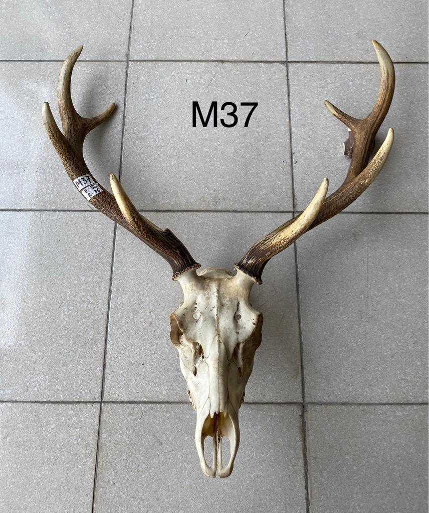 nai mặt xương (M37)