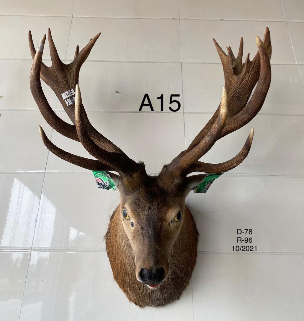 Nai đầu lông (A15)