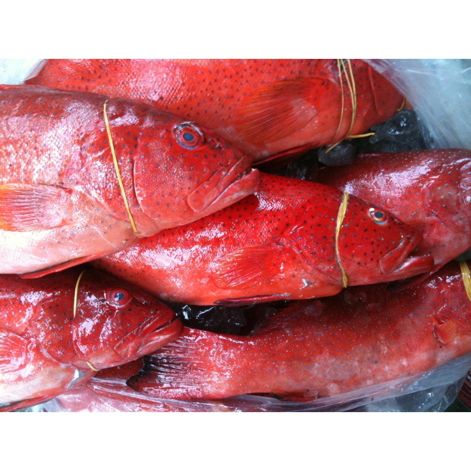 Quà tết:Cá Mú Đỏ Nguyên Con