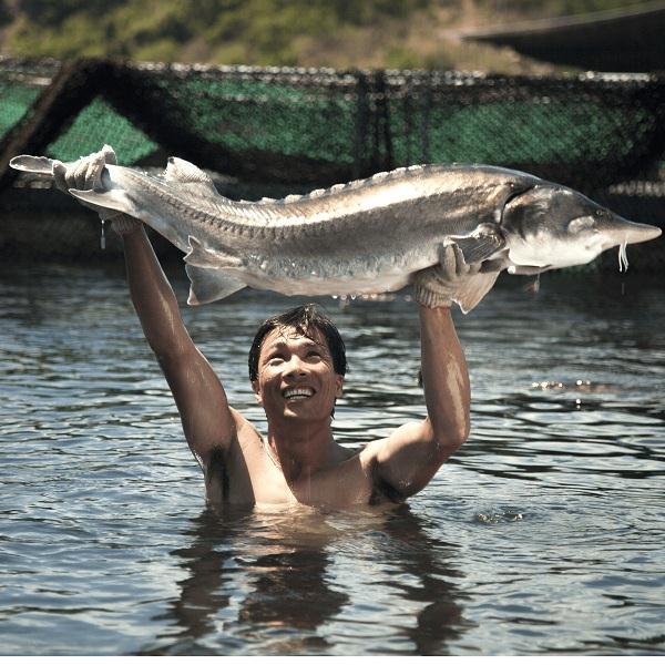 Cá Tầm Beluga nguyên con