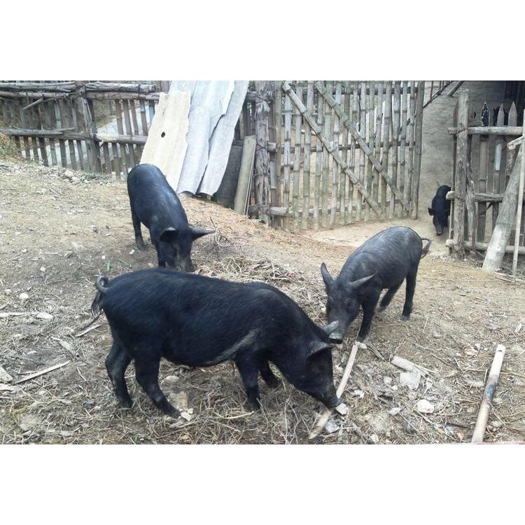 Quà tết:Lợn Mán Nguyên Con