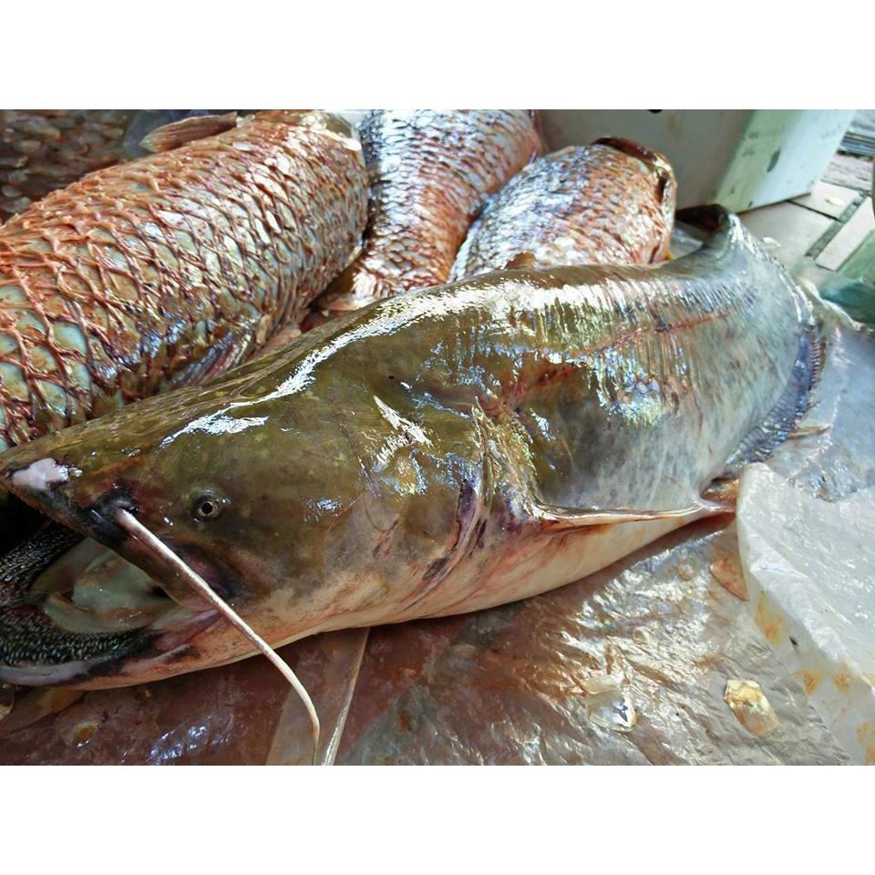 Cá Nheo Sông Đà