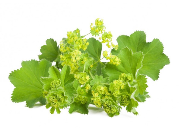 Chiết xuất cây lady's mantle