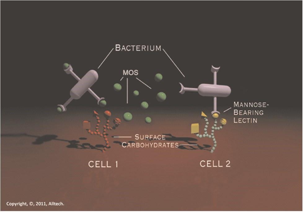 Cơ chế hấp thụ độc tố nấm mốc của MOS trong cơ thể vật nuôi