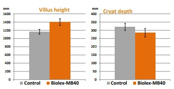 Sử dụng biolex mb40 gúp vật nuôi cải thiện hình thái ruột ở vật nuôi, gia cầm, nhờ vào MOS trong sản phẩm biolex mb40