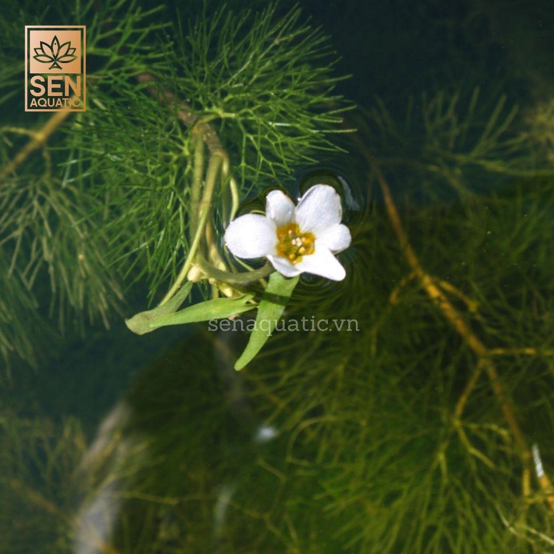 TÌNH YÊU CÂY CỎ  Cabomba-plus-caroliniana-plus-flower-plus-1-plus-1-plus-of-plus-1