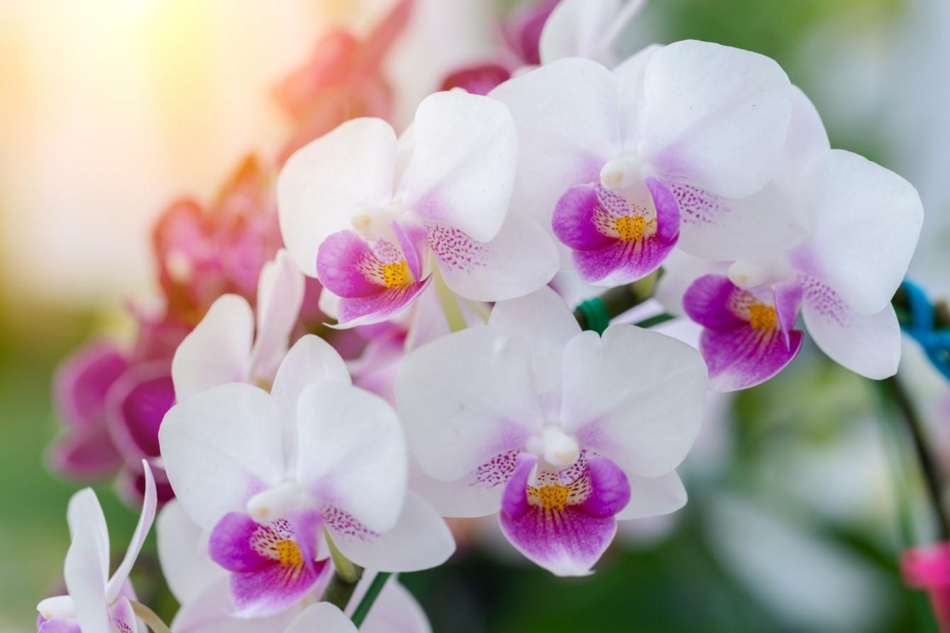 Biểu tượng của hoa lan