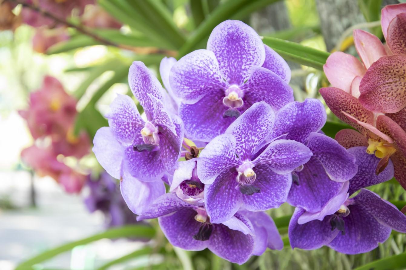 Hoa lan là biểu tượng của sự thanh khiết