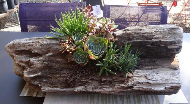 Một vừa sen đầy sự sáng tạo khi tận dụng gốc cây làm một vườn tràn đầy các loại sen đá khác nhau