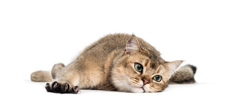 Triệu chứng bệnh ở mèo